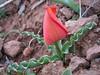 Tulipa sintenisii near Erzurum  or T. undulatifolia,?? Erzurum