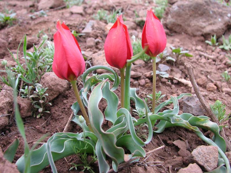 Tulipa sintenisii near Erzurum