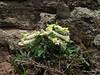 Corydalis angustifolius (Çamlıbel Geçidi)