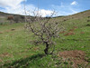 Crataegus spec, near Bayburt