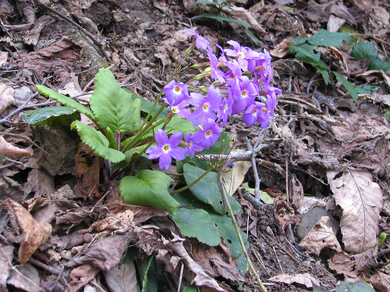 Primula megaseaefolia (on a pass near Murgul)(shady places in the forest)