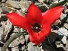 Tulipa cf. armena