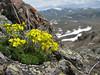 Draba bruniifolia near Camlibel Gecidi 2640m