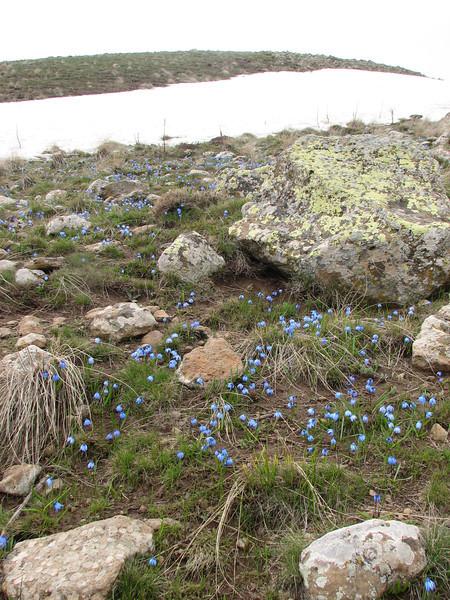Scilla sibirica ssp armena, wet habitat