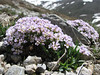 Thlaspi sintenisii, (Soganli Gecidi 2230m pass, Palendoken)