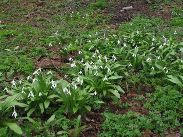 Galanthus krasnovii