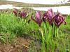 Iris reticulata, SW Erzurum