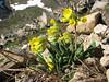 Primula elatior, Soganli Gecidi  2230m North of Bayburt