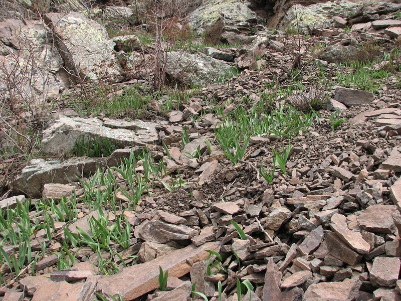 Tulip spec.  (Karagol Daglari)