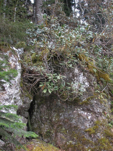 Rhododendron ungernii near Artvin