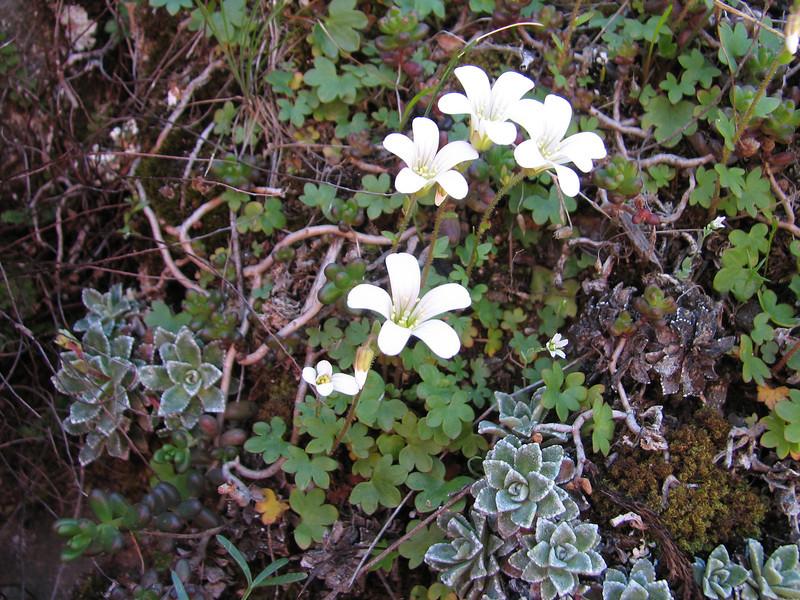 Saxifraga paniculata ssp. cartilaginea and Saxifraga sibirica