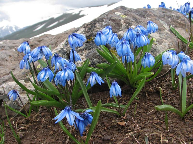 Scilla sibirica ssp armena