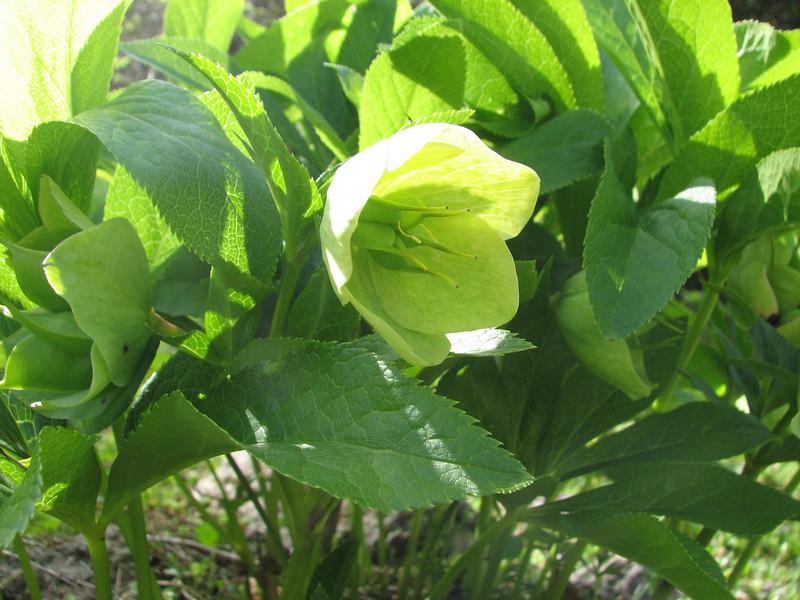 Helleborus orientalis (near Savsat)
