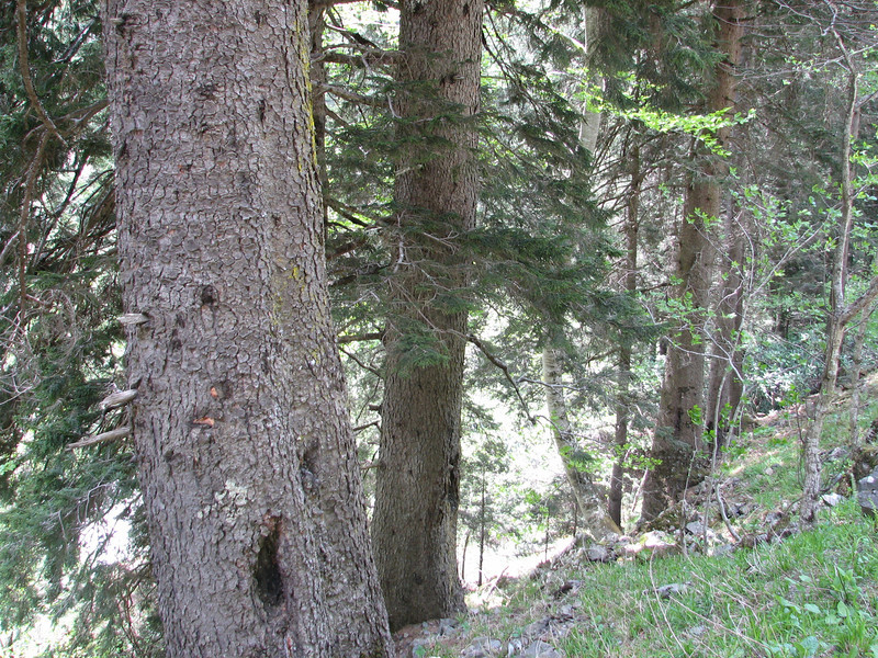 Trunk of Picea orientalis