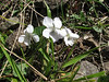 Viola rupestris (near Savsat)