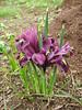 Iris reticulata, SW Erzurum,