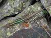 Darevskia rudis, Lizard,  Zigana pass 2010m