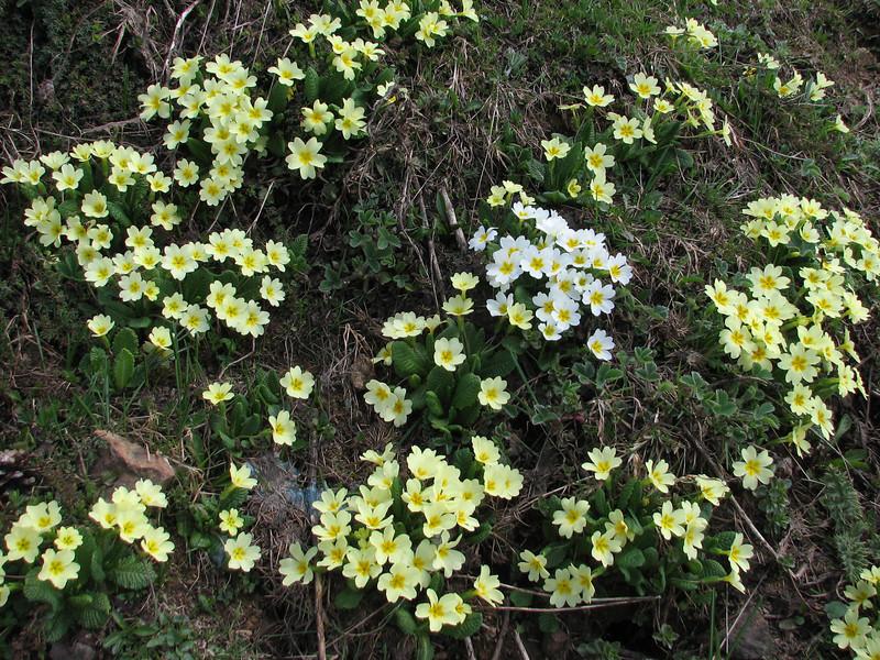 Primula vulgaris ssp. vulgaris,(normal yellow and white form) Zigana Gecidi pass