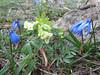 Corydalis angustifolius and Scilla sibirica ssp armena