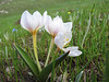 Colchicum szovitsii