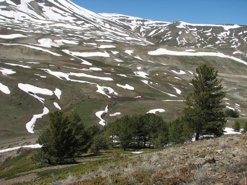 Pinus sylvestris near the Kopdagi Gecidi pass 2000m.