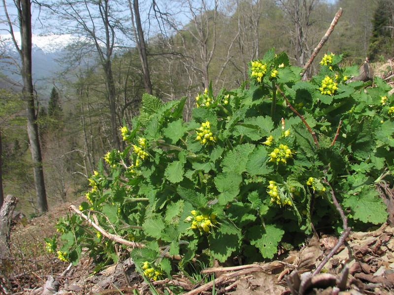 Serophularia chrysantha  (near Artvin)