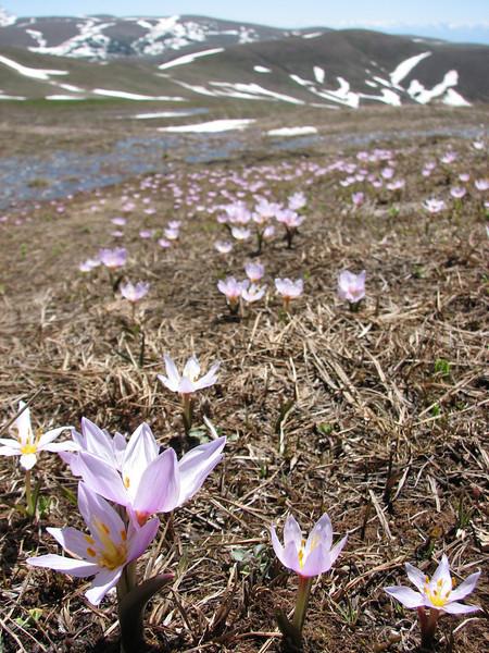 Colchicum szovitsii , (Kopdagi Gecidi pass 2390m.)