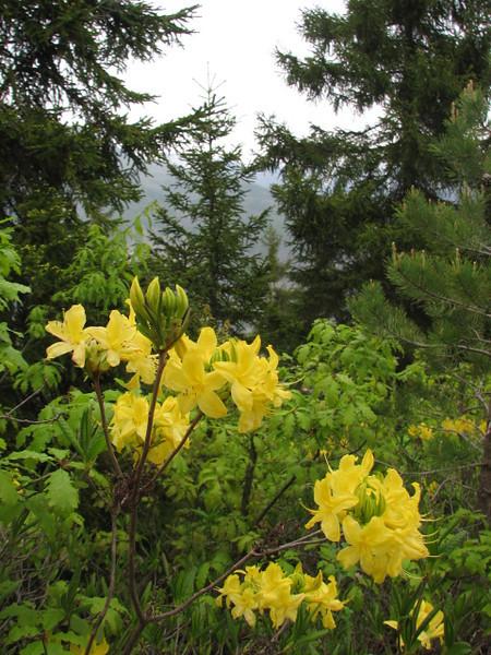 Rhododendron luteum, Artvin