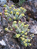 Euphorbia herniariifolia, near Bayburt
