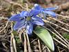 Scilla sibirica ssp. armena (Çamlıbel Geçidi)