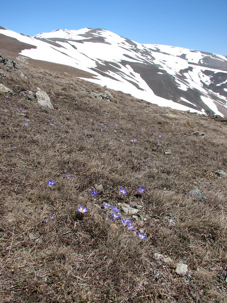 Crocus aerius (growing near melting snow at Soganli Gecidi  2230m)