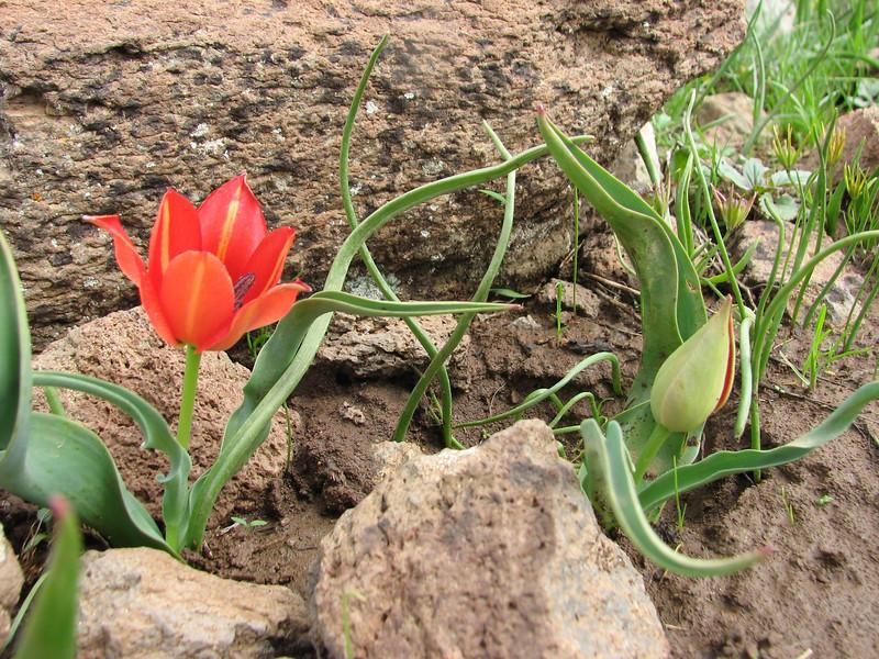 Tulipa armena, (near Cat South of Erzurum)