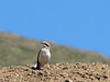 Oenanthe oenanthe, Wheatear, (NL: Tapuit)