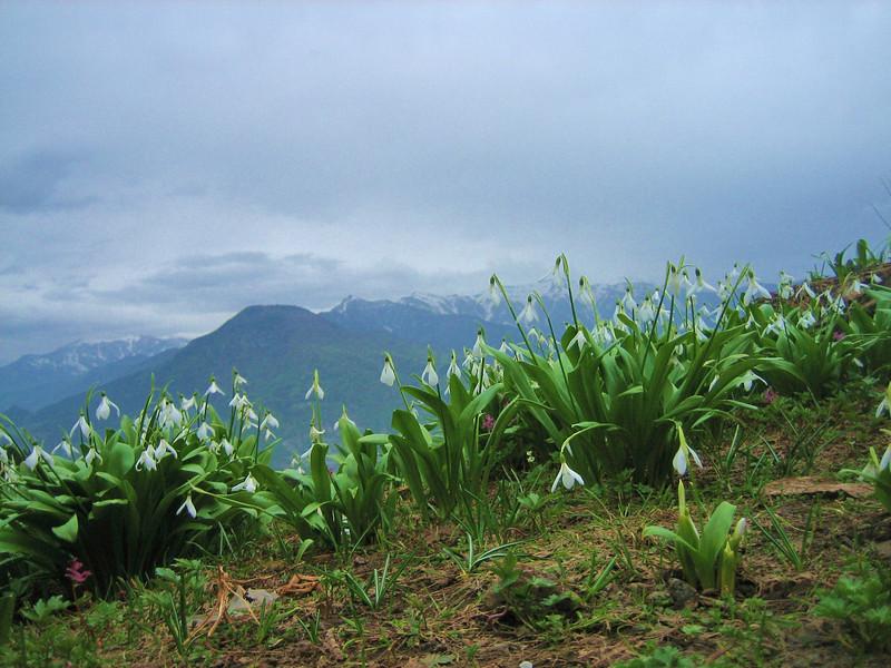 Galanthus krasnovii in deciduous woodland (west of Artvin)