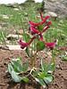 Corydalis erdelii,  (Karagol Daglari)