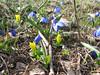 Ranunculus kochii and Scilla sibirica ssp. armena (Çamlıbel Geçidi)
