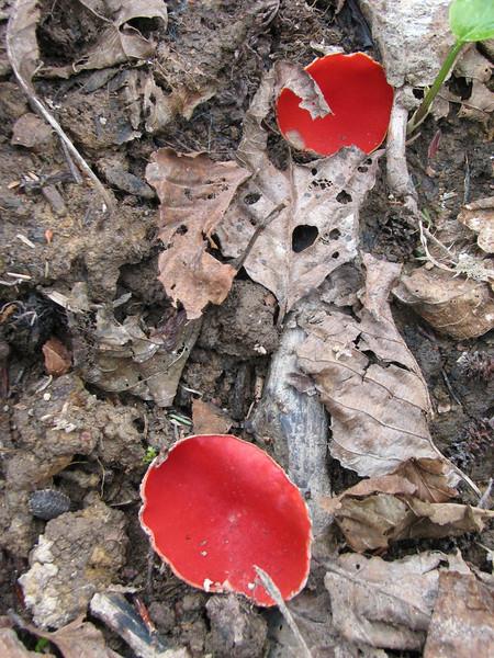 Sarcoscypha coccinea s. lato