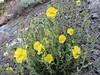Heleanthemum canum