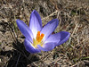 Crocus aerius (growing near melting snow at Soganli Gecidi  2230m)