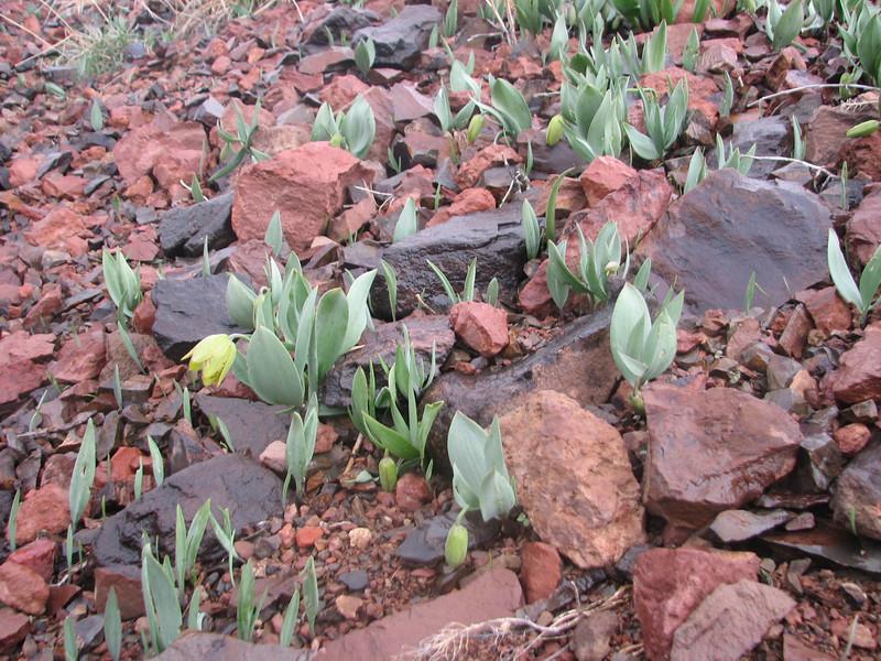 Fritillaria crassifolia ssp. crassifolia  (Erzurum, ski resort)