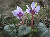 Cyclamen parviflorum (near Artvin)