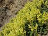 Scutellaria orientalis (near Borçka)