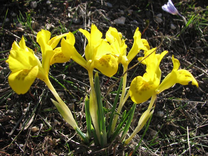 Iris danfordiae,  (near Askale, West Palendoken)