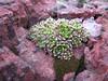 Sempervivum davisii ssp. furseorum (small form),Cirisli Gecidi 2135m.
