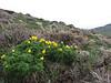 Adonis cf. wolgensis near Erzurum