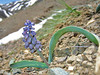 Bellevalia rixii - identified by Oron Peri from a photograph<br /> (Kop Geçidi), through the scottish rock forum!