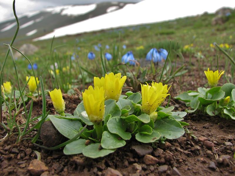 Ranunculus kochii and Scilla sibirica ssp armena
