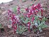 Corydalis nariniana