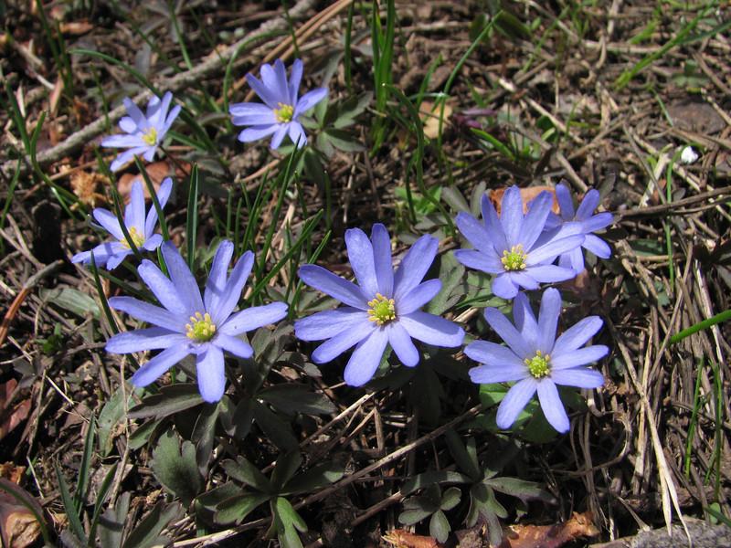 Anemone caucasica (between Savsat and Çamlıbel Geçidi)