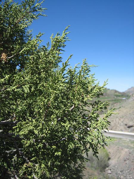 Juniperus excelsa? (west of Bayburt along the road to Gümüşhane)